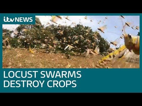Locusts destroying crops and leaving farmers helpless in Kenya | ITV News