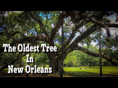 The Oldest Tree in New Orleans | McDonogh Oak in City Park New Orleans