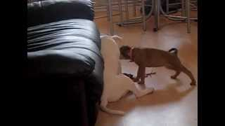 Pitbull Cross Rottweiler Cross German Sheperd And My White Staffy Playing