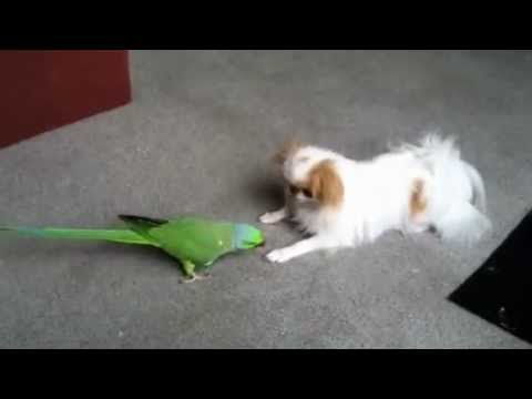Japanese Chin and African Ring Neck Parrot Play