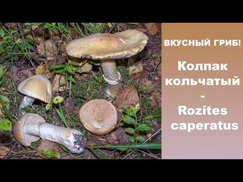 Вкусный гриб! Колпак кольчатый - Rozites caperatus.