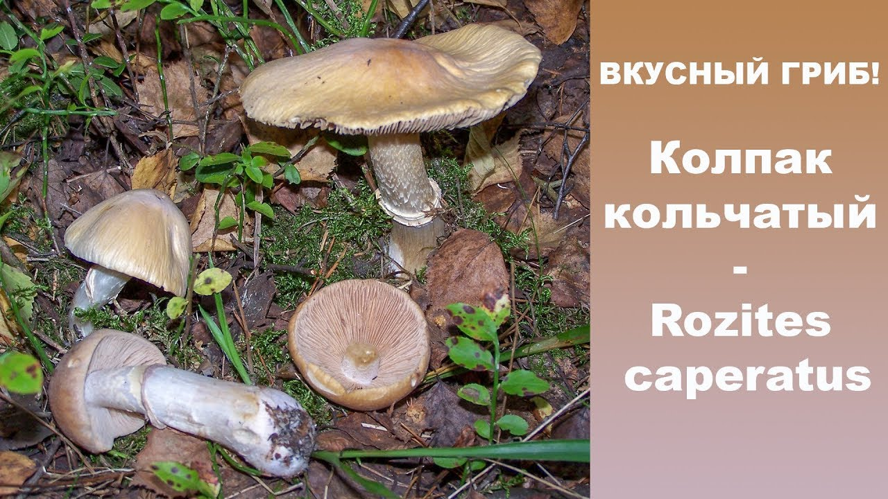 грибы колпаки