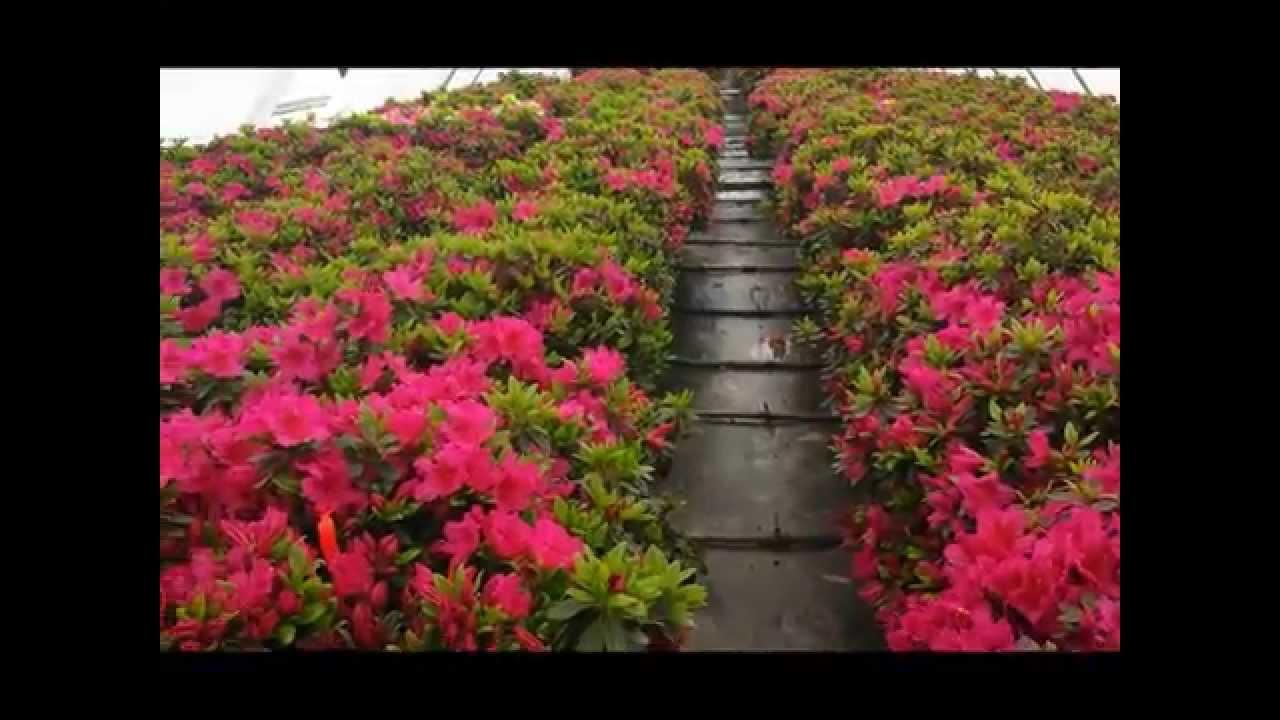 Best Shrubs Azalea Girard S Fuchsia Evergreen Azalea Youtube