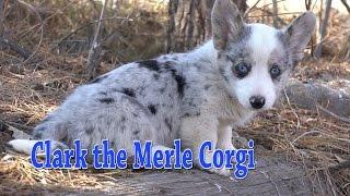 Clark the Merle Corgi YouTube Videos