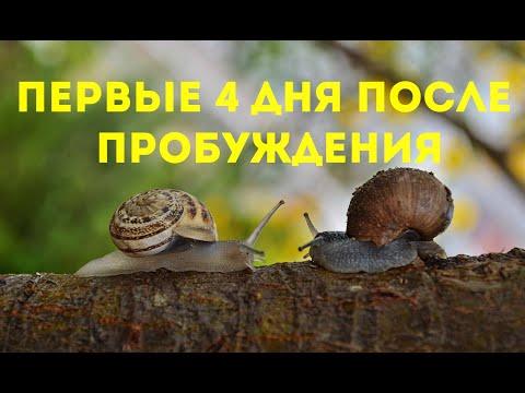 Маточник, день 2 - 4   Улиточная ферма, Royal Snail   Helix Aspersa Muller  