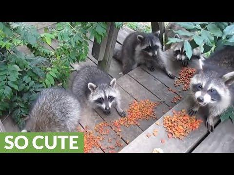 Nursery of raccoons enjoy epic gourmet feast