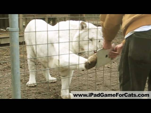 White Tiger Plays iPad – Game for Cats Gone Wild! Lions, servals, and more!