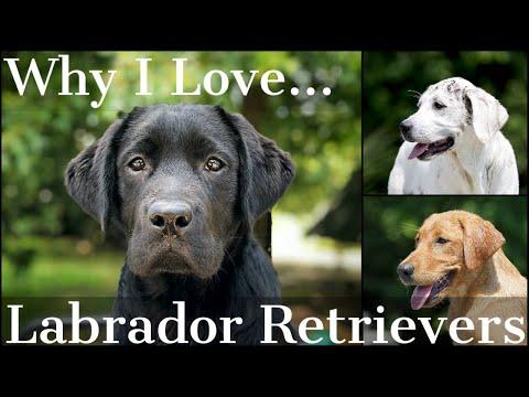 Why I Love the Labrador Retriever Part 1