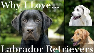 Why I Love the Labrador Retriever Part 1