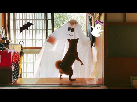 【ハロウィン】お、おばけが来たぞー!Dog and Cat React to Halloween