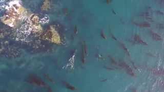 Orca Punts Seal 80 Feet into Air