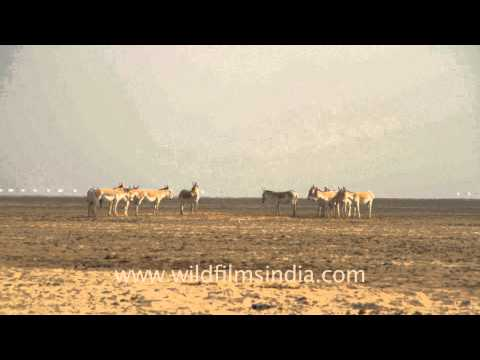 Wild Asses in a group meeting, Gujarat