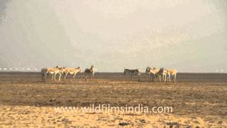 vuclip Wild Asses in a group meeting, Gujarat