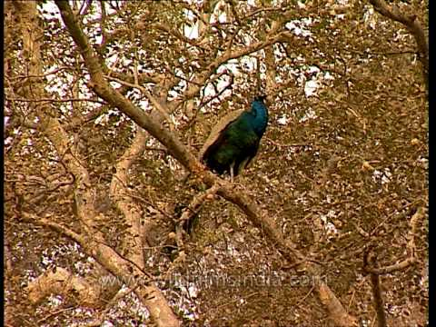 Peafowl at Sariska National Park, Rajasthan