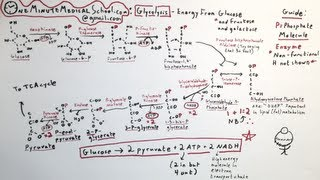 Glycolysis: Energy from Sugar - One Minute Medical School