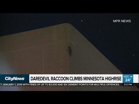Daredevil raccoon scales Minnesota highrise