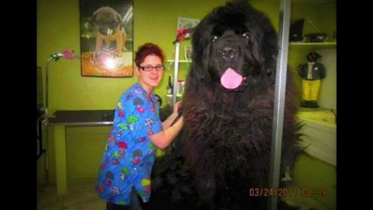 Picture Of Huge Newfoundland Dog
