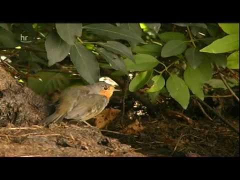 Seltene Tiere in Hessen (Perlmuschel Eremit und Eisvogel)
