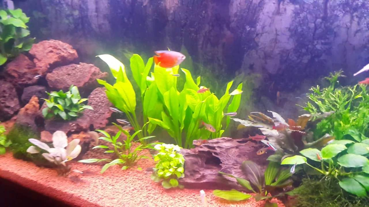 Fluval roma 240 aquarium fish tank - Fluval Roma 240 Tropical Aquarium Planted Fish Tank Cherry Shrimp And Friends
