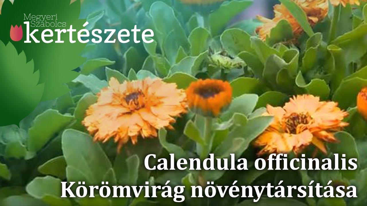 körömvirág szemölcsökkel