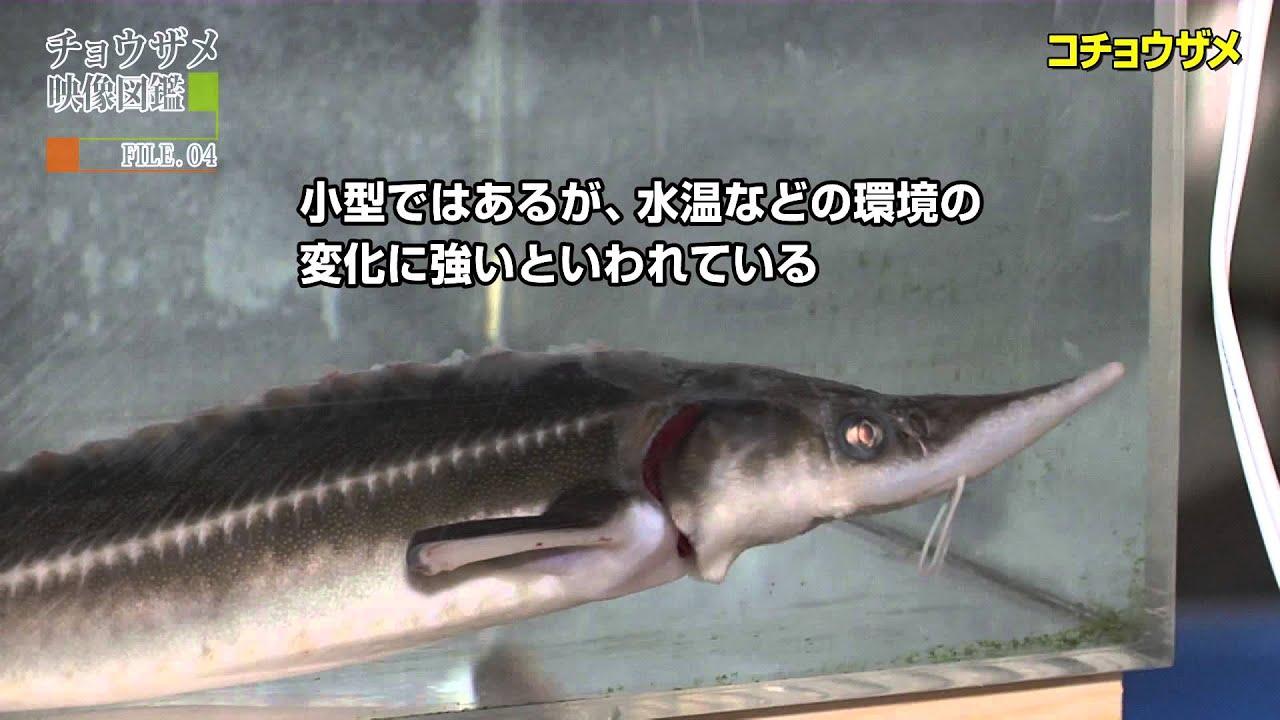 値段 チョウザメ