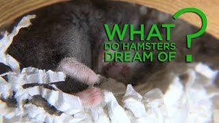Cute Hamster - Porkchop Dreaming