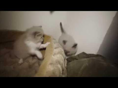 Spooky's ragdoll kittens