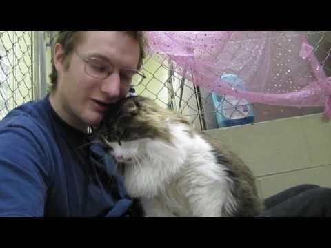 Scooter the Maine Coon Lap Cat - R.I.P.