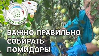 Основные работы в период сбора урожая томата. Как нормировать плоды в цветочной кисти.(Предлагаем Вам просмотреть краткий вариант прямого эфира от 03.07.2014. В этом ролике вы увидите, как правильно..., 2014-07-08T15:24:18.000Z)