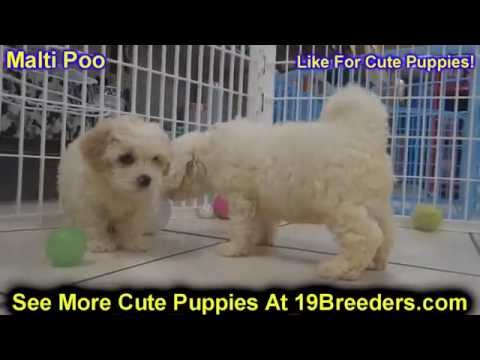Malti Poo, Puppies, For, Sale, In, Badger, County, Alaska, Ak, Kink Fairview, College