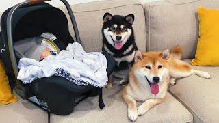 柴犬第一次見到嬰兒寶寶會是什麼反應呢