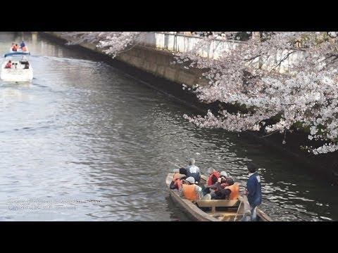 Sakura in Koto-ku, Tokyo (江東区の桜) 30.03.2014 - christinayan