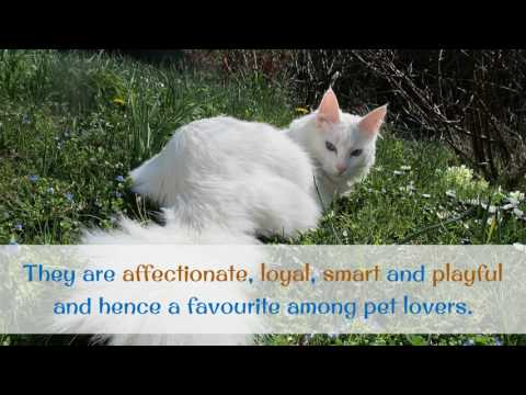 18 Interesting Facts You Should Know About Turkish Angora