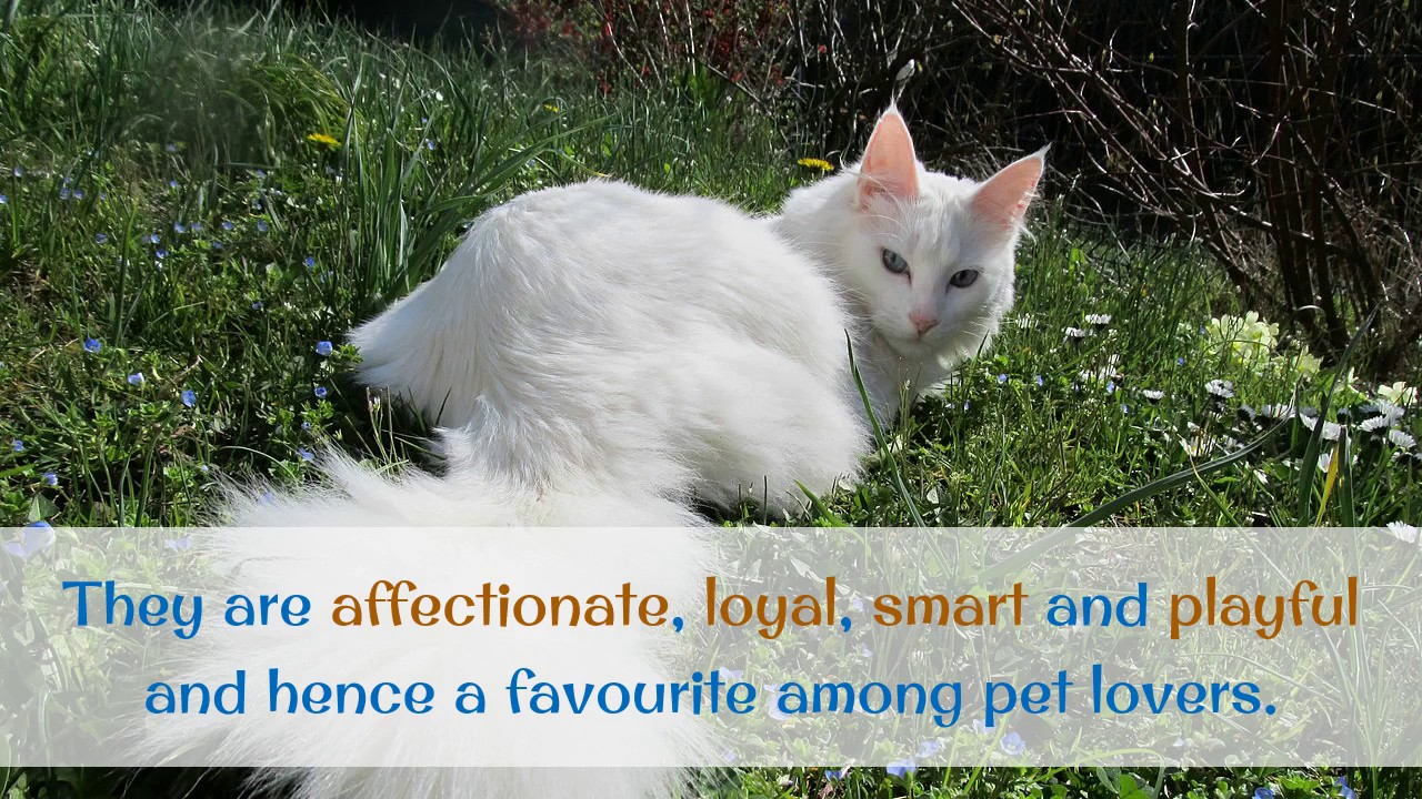 b07d1f1307 18 Interesting Facts You Should Know About Turkish Angora - YouTube