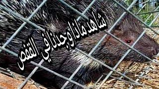 لاول مرة في العراق 🐭🐭مغامر يصيد الدعلج شاهدوا📸📸