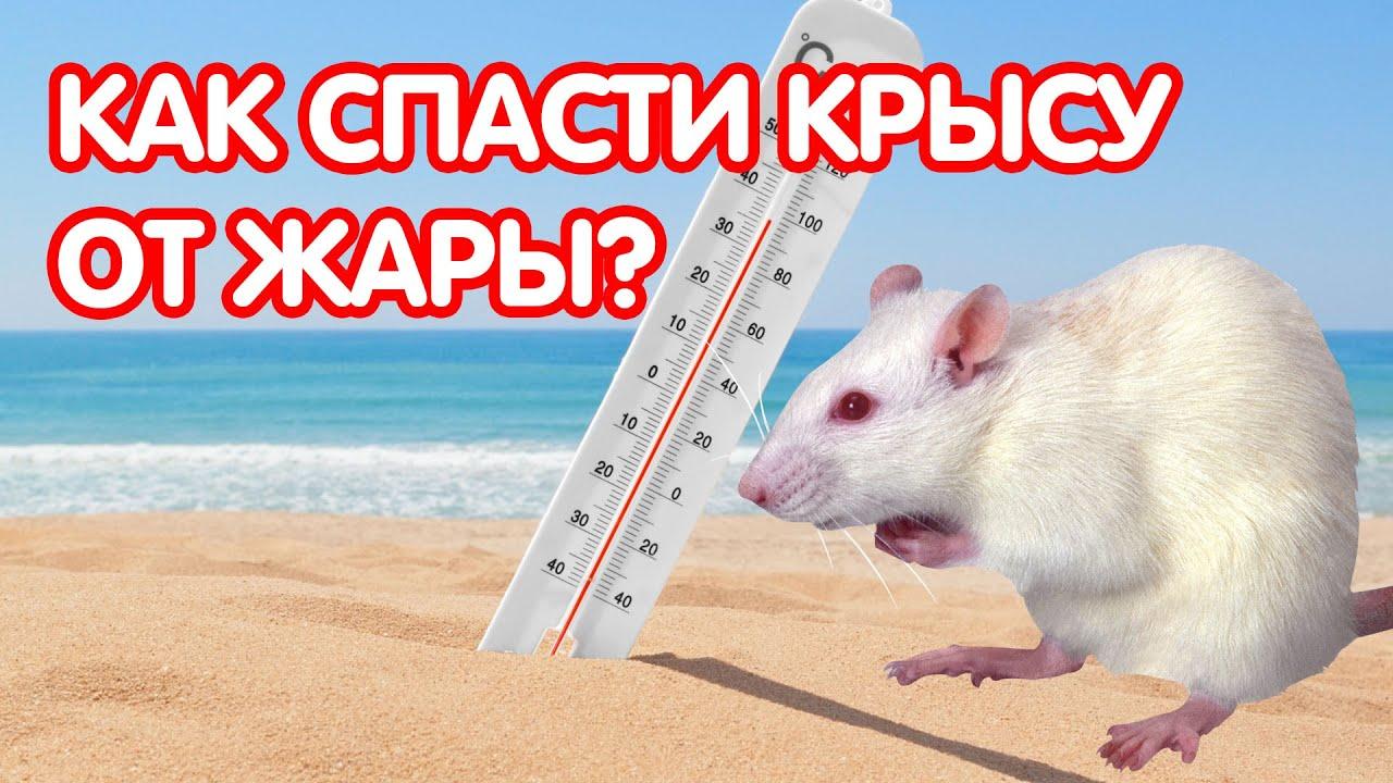Как спасти крысу от жары. Крысе жарко – что делать?