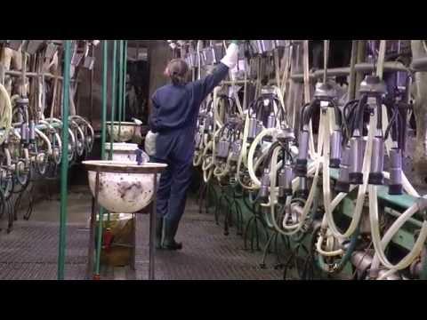 900 koeien door een 2 x 12 stands visgraatmelkstal - www.melkvee.nl