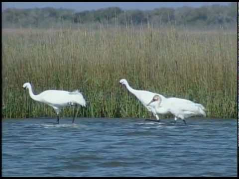 Texas:  In the Face of Climate Change, Coast Is Not Clear for Whoopers