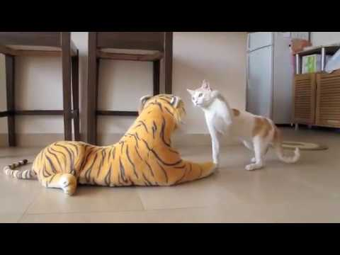 Funny Indian cat