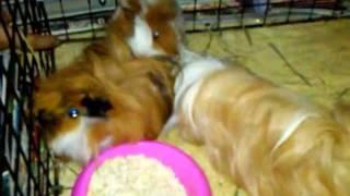 Guinea Pig's sex edu.3GP