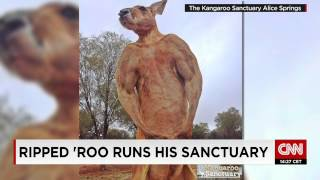 Is this the biggest, most ripped kangaroo ever?
