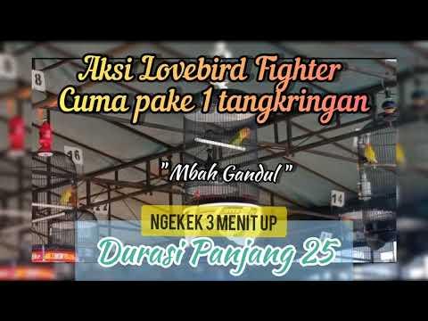 Aksi Lovebird Fighter Mbah Gandul Ngekek 3 Menit Up Di Latpres Spesial Akhir Tahun Pamotan BC