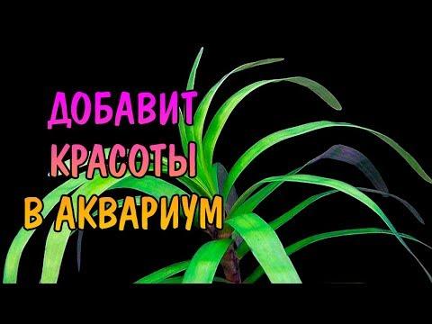 ЭЙХОРНИЯ РАЗНОЛИСТНАЯ ( Eichornia diversifolia )