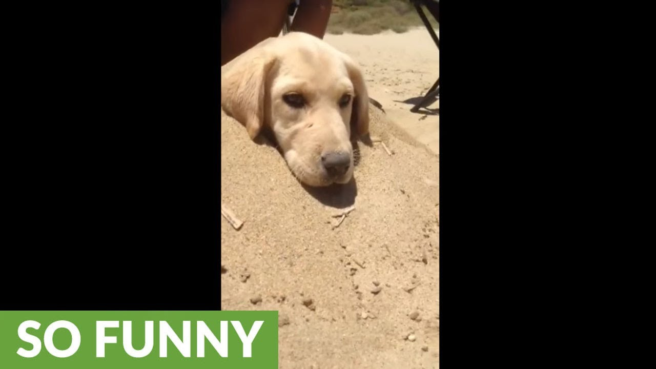puppy loves to be buried in sand youtube