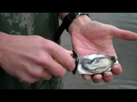 Session 3. Oysters. Part 3. How to shuck an oyster!