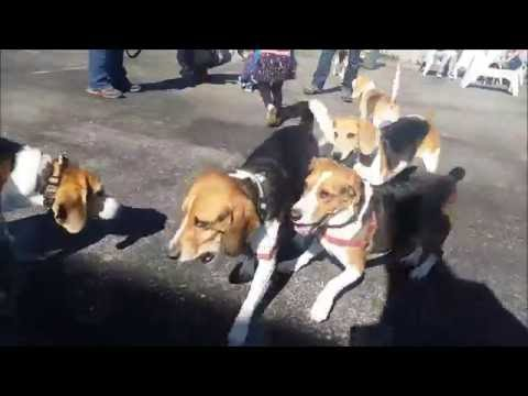 Breed Day #5 - BEAGLE DAY!