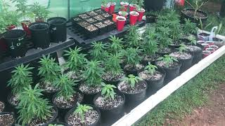 Growing weed in tнe freezing cold !