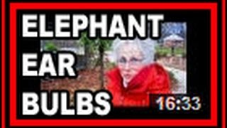 Elephant Ears - Wisconsin Garden Video Blog 554