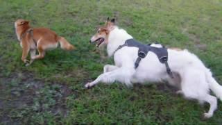2歳8ヶ月メス。ドッグランにて、柴犬・忠吉くんと追いかけっこ。