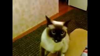 Что делает кошка пока хозяйки нет(Пока хозяева не видят - кошка вытворяет все что только может. Умора!, 2014-01-31T11:26:03.000Z)